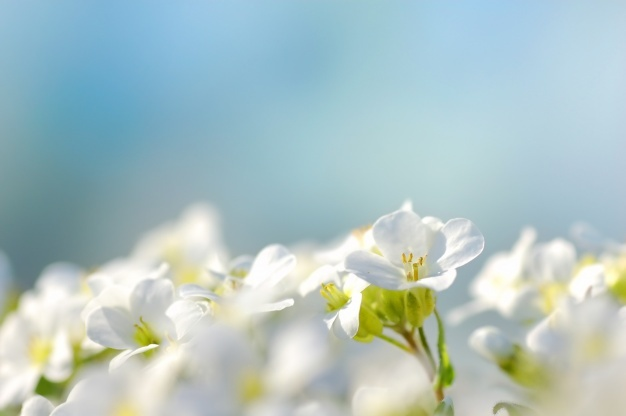 Flores Blancas Fondo Azul 1160 425